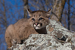 Cougar cub (Puma concolor) sitting on a rock.  Winter.   Minnesota.