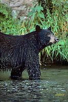 Black Bear standing in stream where it has been looking for salmon.  Northwest coastal forest.