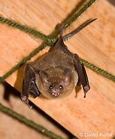 0715-1113  Seba's Short-tailed Bat, Roosting in Building in Belize, Carollia perspicillata  © David Kuhn/Dwight Kuhn Photography