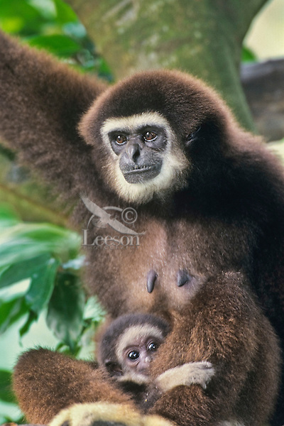 White-handed gibbon or common gibbon mother with young (Hylobates lar), S.E. Asia