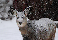 Mule deer in a snow storm