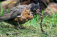 RO07-029z   American Robin - young catching prey, a worm - Turdus migratorius