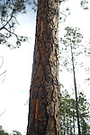 Lightning struck this pine tree and blew the bark off the tree as the electricity causes steam explosions in the tree on its way to the ground.