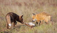 Siblings face off over a deer leg.