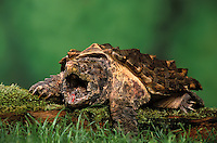Alligator Snapping Turtle..Has a pink wormlike structure on its tongue that it uses to lure prey..Endangered Species. Native to Southeastern United States..Largest freshwater turtle in North America..Macroclemys temmincki.