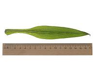 Beinwell, Echter Beinwell, Gewöhnlicher Beinwell, Arznei-Beinwell, Beinwurz, Wilder Komfrey, Symphytum officinale, Common Comfrey, true comfrey,  comfrey,  Quaker comfrey, cultivated comfrey, boneset, knitbone, consound, slippery-root, la Consoude officinale. Blatt, Blätter, leaf, leaves