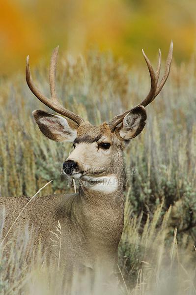 Mule Deer, Black-tailed Deer, Odocoileus hemionus, buck with aspen trees in background in fallcolors, Grand Teton NP,Wyoming, September 2005