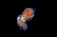 southern bobtail or southern dumpling squid, Euprymna tasmanica, Edithburgh, South Australia, Southern Ocean