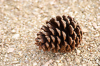 A pine cone in the vineyard. Vinedos y Bodega Filgueira Winery, Cuchilla Verde, Canelones, Montevideo, Uruguay, South America