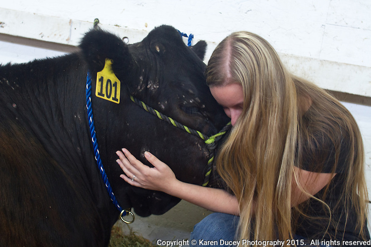 """Alie Kale, 19, from Tahoma, Wash. has raised Stockey, a 13 month old steer since last summer.  """"He's very stubborn."""" she says. He is currently 1,200 pounds. When she first got him he was 300-400 pounds.She showed him at the Washington State fall fair.  He was born on March 19, 2014 and she got him in April 2014 while in her FFA class at Tahoma High School. She sold him at the fair in September 2014 for $800 to Chase Smith, 18 from Fife high School.  He got sponsorships from several businesses to help for the cost of food and showings. Smith worked with him for 2 -3 hours a day for about 5 months including baths, walking him """"Its a lot of hard work."""" he said. He shared responsibilities with another student - he fed him in the morning at the Fife FFA barn<br /> <br /> Kale says she wants to be a farmer. """"I'd never touched a cow before."""" she said """"I was completely in love. So now I'd really like to have a cow and a pig farm.""""<br /> <br /> She says of Jim Roxstrom """"He took a city girl and made a country girl out of me.""""Says Smith """"Somebodies got to do all the dirty work and the other person on the other end gets all the money.""""<br /> <br /> """"I'm going to miss it."""" says Smith who lives in a condo. """"I don't like condos, apartments or the city."""" The FFA barn is close by. From Fife.<br /> <br /> Smith said he would make a little money due to Les Schwab who bumps everyone's price up.<br /> <br /> About sending him to slaughter Kale said """"They always know.  he knows."""" """"He's sad. You can see it in his eyes."""" """"Everyone underestimates cows. They're like big, powerful dogs. If you train them they're really great animals to have."""" """"He loves having the spot under his chin scratched . """"she says.<br /> <br /> <br /> <br /> Students in the FFA and 4H programs participate in the auction of livestock including steers, lambs and hogs in the Northwest Junior Livestock Show at the Washington State Spring Fair in Puyallup, Wash. on April 19, 2015.  (photo © Karen Ducey Photography)"""