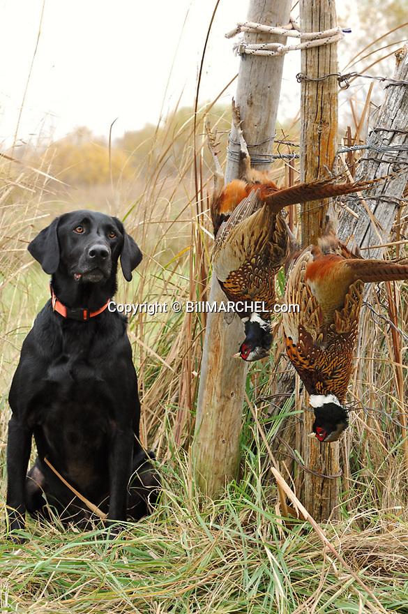 00975-015.07 Labrador Retriever: Black Lab poses with two bagged rooster pheasants.  Hunt, retrieve, dog, prairie.