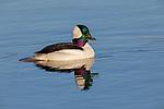 Drake bufflehead swimming in northern Wisconsin lake.