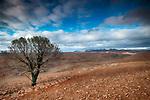 Lone Tree, Flinders Ranges National Park, South Australia