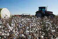 TURKEY, Kesik, near Menemen, conventional cotton ready for picking machine harvest after spraying of defoliants, tractor ploughs the harvested parts of field / TUERKEI, Kesik, bei Menemen, konventioneller Baumwollanbau, nach Verspruehen eines Entlaubungsmittel ist die Baumwolle erntebereit fuer Pflueckmaschinen, Traktor pfluegt die bereits geernteten Flaechen