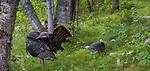 Tom  and jake wild turkeys in northern Wisconsin.