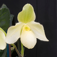 Pale yellow orchid flower of Paphiopedilum Becky Fouke, hybrid of primulinum