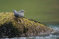 Fledgling American Dipper (Cinclus mexicanus) on a moss covered rock. King County, Washington. April.