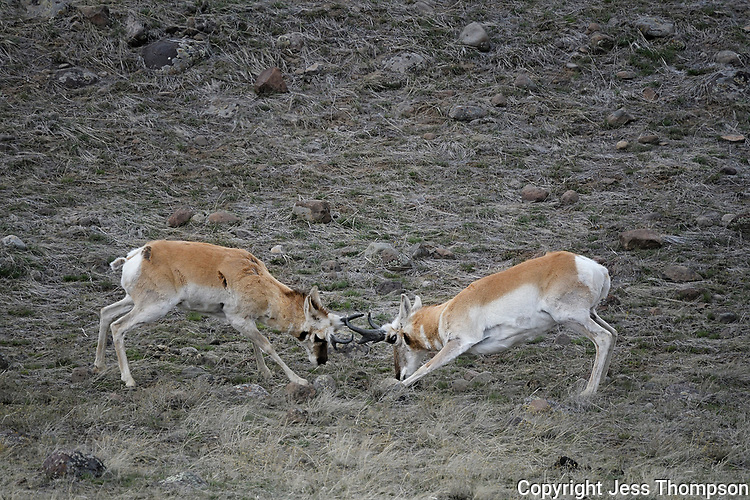 Pronghorns sparring, Wyoming