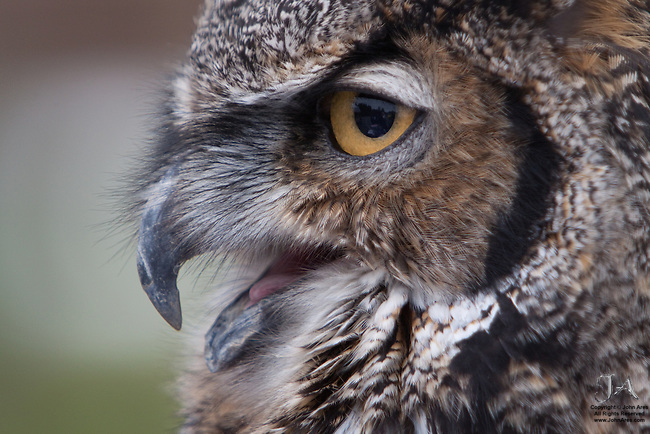 Great horned Owl panting, side view, captive