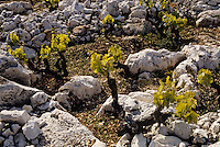 Croatie/Dalmatie/Primosten: Le vignoble - ceps de vigne