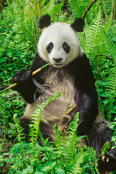 Giant Panda (Ailuropoda melanoleuca)eating bamboo in bamboo forest of central China.