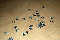 Loggerhead turtle hatchlings Caretta caretta, Praia do Forte, Bahia, Brazil South Atlantic