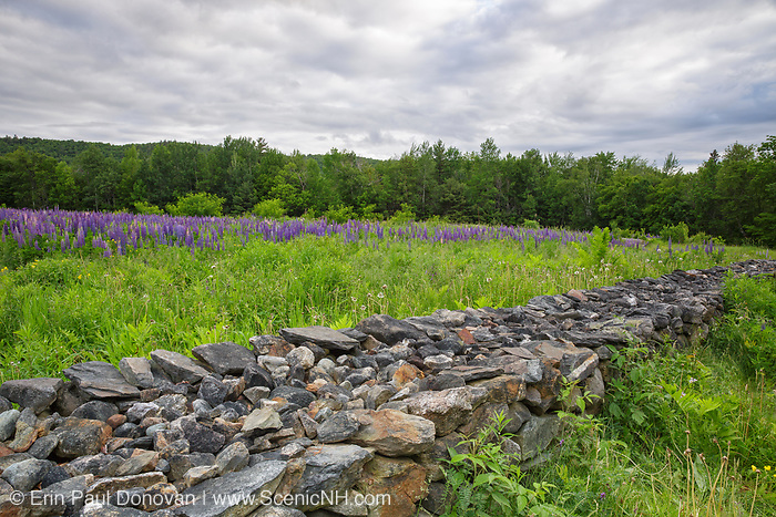 Lupine fields in Sugar Hill, New Hampshire during the spring months. Every year Sugar Hill holds an event called the Annual Celebration of Lupines Festival.