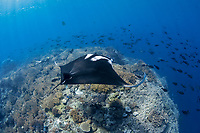 A freediver swims with a giant oceanic manta ray, Mobula birostris, formerly Manta birostris, on a reef pinnacle that rises from deep waters in eastern Indonesia, Raja Ampat, Papua, Indonesia, Pacific Ocean