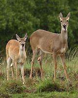 White-tailed Deer - Odocoileus virginianus.