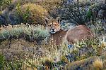 Puma, Torres del Paine National Park, Chile