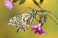 Schwalbenschwanz, Unterseite, Flügelunterseite, Papilio machaon, Old World swallowtail, common yellow swallowtail, swallow-tail, Le Machaon, Grand porte-queue