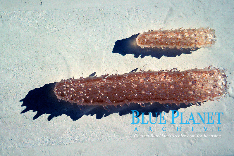 pyrosome, individuals in a tube, larger open end terminates with a diaphragm, Pyrosoma atlanticum, migrates vertically , common & widespread in middle latitudes, prominent papillae