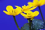 Liverwort plant close-up 3 flowers