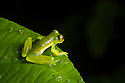 Emerald Glass Frog male {Espadarana prosoblepon}. Osa Peninsula, Costa Rica. May.