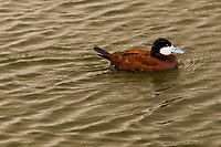 A Ruddy duck with its sky-blue bill paddles around a  neighborhood park's pond.