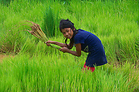 Teenage girl helping the family in the rice fields near Battambang, Cambodia