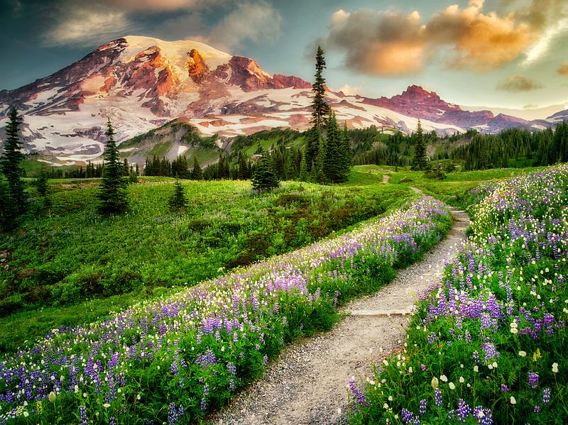 Path and wildflowers with Mt. Rainier. Mt. Rainier National Park, Washington