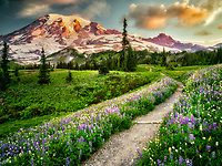 Path and wildflowers with Mt. Rainier. Mt. Rainier National Park, Washington