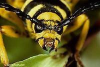 1C25-010a   Sugar Maple Borer Beetle - face showing jaws - Glycobius speciosus