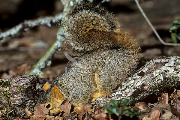 Fox Squirrel (Sciurus niger) searching for acorns among leaves