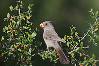 Pyrrhuloxia (Cardinalis sinuatus), female eating berries, Sinton, Corpus Christi, Coastal Bend, Texas, USA