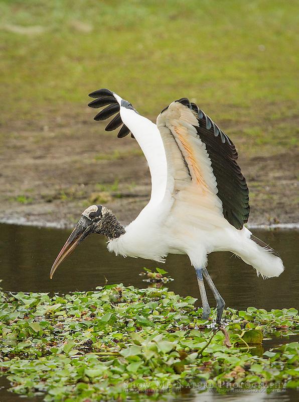 Wood Stork foraging at the edge of Myakka Lake