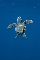 olive ridley sea turtle, hatchling, Lepidochelys olivacea, swimming to the surface for a breath, Costa Rica, Pacific Ocean