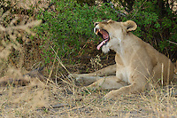 Lion baring his teeth after waking up from a nap in the Okavango Delta.  This photo was taken in Botswana Africa,