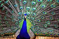 Animais. Aves. Pavão macho (Pavo cristatus). SP. Foto de Juca Martins.