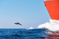 long-beaked common dolphin, Delphinus capensis, leaping in the bow wake of tanker off Wild Coast of Transkei, S. Africa