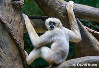 0305-1101  White-cheeked Gibbon, Nomascus sp.  © David Kuhn/Dwight Kuhn Photography
