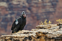 Immature California Condor (Gymnogyps californianus) near Marble Canyon (Colorado River), Grand Canyon National Park, Arizona.