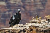 Immature California Condor (Gymnogyps californianus) near Marble Canyon (Colorado River), Grand Canyon National Park, Arizona.