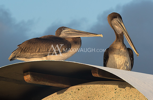 Brown pelicans are one of the larger birds found in the Galapagos.